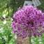 ดอกอัลเลี่ยม ดอกหอม Large flower onion seeds / 25 เมล็ด thumbnail 2