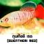 ไข่ปลาคิลลี่ สายพันธุ์ Nothobranchius Guentheri (กุนเทียติ เรด) Red จำนวน 30 ฟอง thumbnail 1
