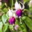 ตุ้มหูนางฟ้า ต่างหูนางฟ้า โคมญี่ปุ่น สีผสม Fuchsia Mix / 20 เมล็ด thumbnail 6