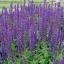 บลูซัลเวีย blue salvia flower / 100 เมล็ด thumbnail 5