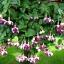 ตุ้มหูนางฟ้า ต่างหูนางฟ้า โคมญี่ปุ่น สีผสม Fuchsia Mix / 20 เมล็ด thumbnail 5