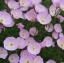 อีฟนิ่งพริมโรส สีชมพู Evening Primrose Showy Pink / 50 เมล็ด thumbnail 2