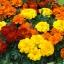 ดาวเรืองฝรั่งเศส ออโรร่า มิ๊ก marigolds french Mixed / เมล็ด thumbnail 3