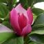 แมกโนเลีย magnolia / 20 เมล็ด thumbnail 4