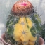 กระบองเพชร เมโล melocactus variegata / 20 เมล็ด thumbnail 1