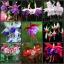 ตุ้มหูนางฟ้า ต่างหูนางฟ้า โคมญี่ปุ่น สีผสม Fuchsia Mix / 20 เมล็ด thumbnail 2