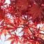 เมล็ดเมเปิ้ลแดง พันธ์ุญี่ปุ่น Red Japanese Maple Tree / 10 เมล็ด thumbnail 3