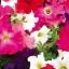 พิทูเนีย แกรนดิฟลอร่า จัมโบ้ มิกซ์ Petunia Grandiflora Jumbo Mix / 100 เมล็ด thumbnail 1