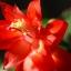 กระบองเพชรก้ามปู หรือมังกรคาบแก้ว Schlumbergera seed Mix / 100เมล็ด thumbnail 5