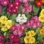 พริมโรส สีผสม (Primrose Mix) / 50 เมล็ด thumbnail 2