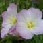 อีฟนิ่งพริมโรส สีชมพู Evening Primrose Showy Pink / 50 เมล็ด thumbnail 1