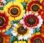 เบญจมาศ แฟนซี Chry sanyhemum / 200 เมล็ด
