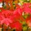 เมเปิ้ลแดง พันธ์ุอเมริกัน Red American Maple / 10 เมล็ด thumbnail 6