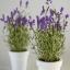 ลาเวนเดอร์ คอสต้า บลังกา เพอร์เพิล lavender costa blanca purple / 10 เมล็ด thumbnail 2