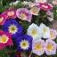 ผักบุ้งไตรรงค์ผักบุ้งแคระ 3 สี convolvulus tricolor / 25 เมล็ด thumbnail 3