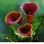 คาลล่าลิลลี่ Calla lily / 1 หัว thumbnail 5