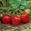 สตอเบอรี่ Stawberry / 150 เมล็ด thumbnail 2