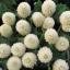 บานไม่รู้โรย สีขาว Globe amaranth / 100 เมล็ด thumbnail 1