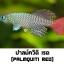 ไข่ปลาคิลลี่ สายพันธุ์ Nothobranchius palmquisti red (Palmquisti Gezani TAN95/16) จำนวน 50 ฟอง thumbnail 1