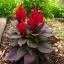 ดอกสร้อยไก่ สีแดง ใบสีแดง Celosia argentea / เมล็ด thumbnail 2