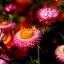 ดอกกระดาษ คละสี Straw flower, Everlasting / 200 เมล็ด