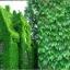 ตีนตุ๊กแกฝรั่ง หรือ บอสตันไอวี่ English Ivy หรือ Boston ivy / 10 เมล็ด thumbnail 4