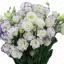 ดอกEustoma คละสี Eustoma Bicolor Mix / 20 เมล็ด thumbnail 2