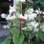 พวงเงิน Clerodendrum thomsoniae seeds / 10 เมล็ด thumbnail 6