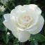 กุหลาบขาว white rose / 20 เมล็ด thumbnail 1