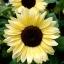 ทานตะวัน วาเลนไทน์ sunflower valentine / 50 เมล็ด thumbnail 1