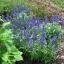 บลูซัลเวีย blue salvia flower / 100 เมล็ด thumbnail 3