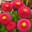 อิงลิช เดซี่ Bellis perennis pomponette / 50 เมล็ด thumbnail 8