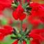ซัลเวียสคาร์เรทคิงส์ สีแดง Salvia Scarlet King Red / 25 เมล็ด thumbnail 5