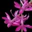 กระบองเพชรก้ามปู หรือมังกรคาบแก้ว Schlumbergera seed Mix / 100เมล็ด thumbnail 8