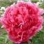 โบตั๋น สีชมพูเข้ม #20 Peony Pink / 10 เมล็ด thumbnail 1