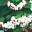 พวงเงิน Clerodendrum thomsoniae seeds / 10 เมล็ด thumbnail 3