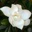 แมกโนเลีย magnolia / 20 เมล็ด thumbnail 2