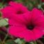 พิทูเนีย สีชมพู Petunia Pink / 200 เมล็ด thumbnail 1