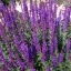 บลูซัลเวีย blue salvia flower / 100 เมล็ด thumbnail 2