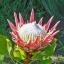 โพรเทีย (คิงโพเธีย) Protea cynaroides - autumn (King Protea) / 5 เมล็ด thumbnail 5