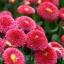 อิงลิช เดซี่ Bellis perennis pomponette / 50 เมล็ด thumbnail 9