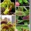 ต้นไม้กินแมลง กาบหอยแครง Venus flytrap Dionaea muscipula seeds / 20 เมล็ด thumbnail 5