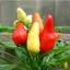 พริกประดับ capsicum frutescens / 15 เมล็ด thumbnail 2
