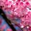 ซากุระญี่ปุ่น เชอรีบอสซัม Sakura / 10 เมล็ด thumbnail 5