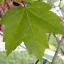 เมเปิ้ลแดง พันธ์ุอเมริกัน Red American Maple / 10 เมล็ด thumbnail 7