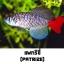 ไข่ปลาคิลลี่ สายพันธุ์ Nothobranchius patrizii (Patrizii Jenalle) จำนวน 30 ฟอง thumbnail 1