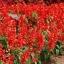 ซัลเวียสคาร์เรทคิงส์ สีแดง Salvia Scarlet King Red / 25 เมล็ด thumbnail 2