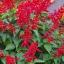 ซัลเวียสคาร์เรทคิงส์ สีแดง Salvia Scarlet King Red / 25 เมล็ด thumbnail 4