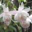 ตุ้มหูนางฟ้า ต่างหูนางฟ้า โคมญี่ปุ่น สีผสม Fuchsia Mix / 20 เมล็ด thumbnail 9