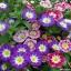 ผักบุ้งไตรรงค์ผักบุ้งแคระ 3 สี convolvulus tricolor / 25 เมล็ด thumbnail 2